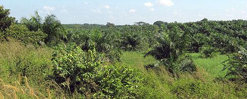 Plantaciones de palma africana en Chiapas © SIPAZ